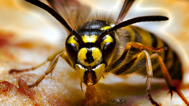 get rid of yellow jackets organically the real organic gardener. Black Bedroom Furniture Sets. Home Design Ideas